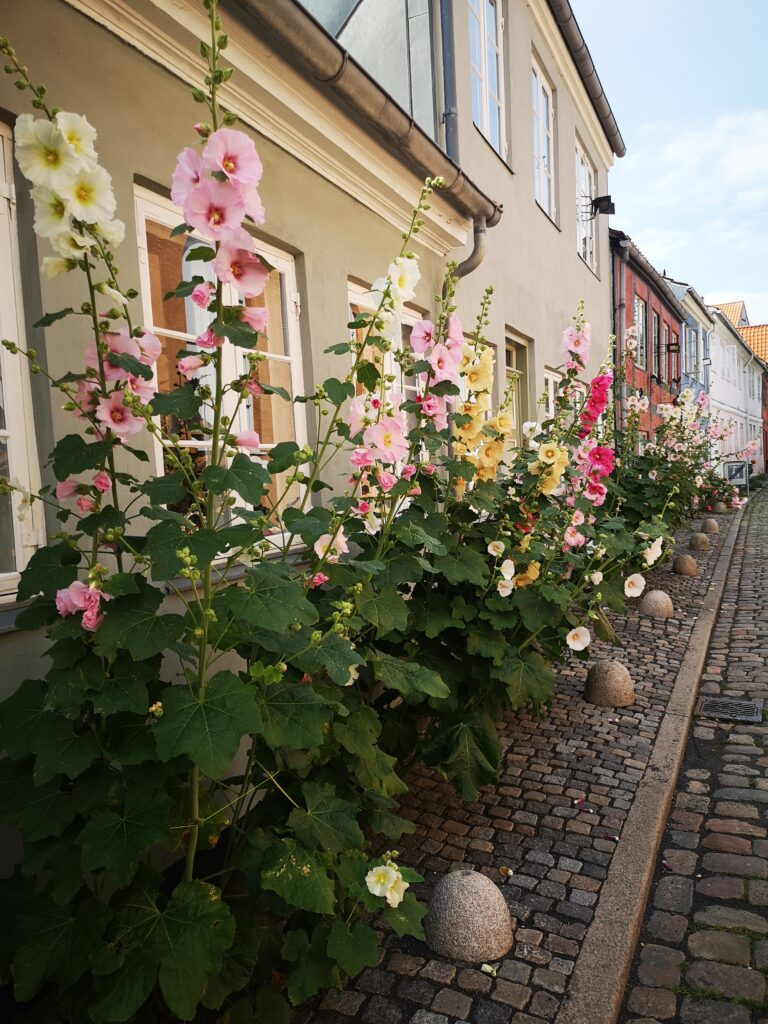 Stockrosen - das ist Dänemark